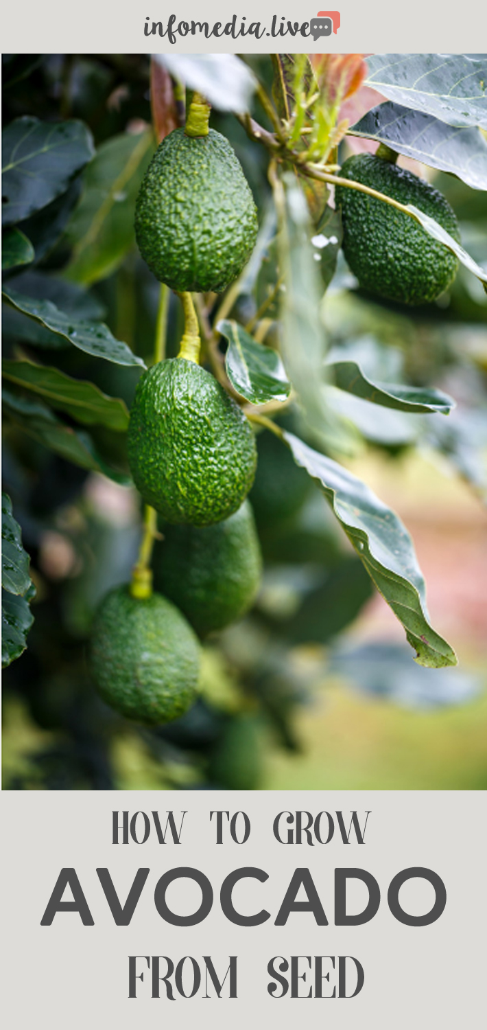 How To Grow Avocado From Seed