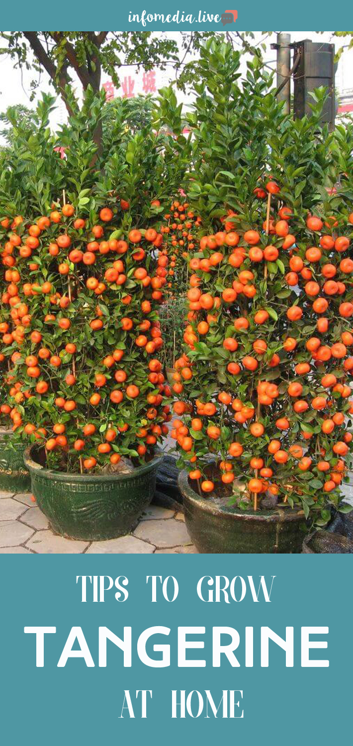 Tips to Grow Tangerine At Home