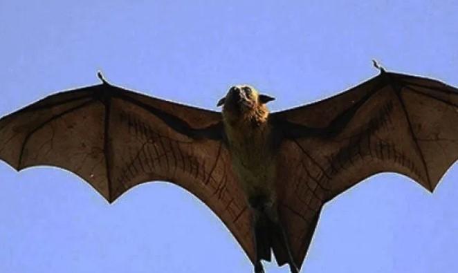 """Murciélago de """"tamaño humano""""encontrado en Filipinas se viraliza"""