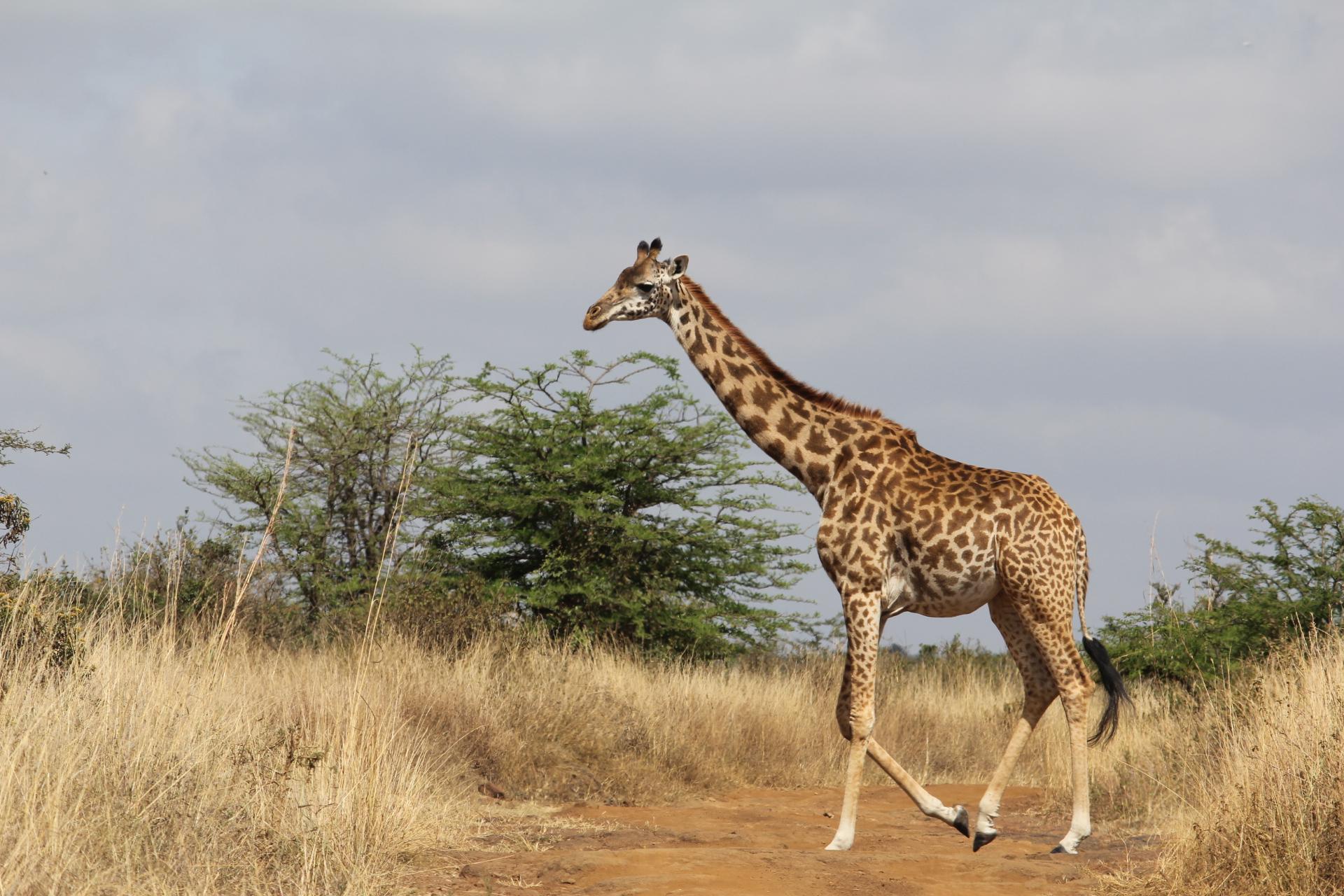 Rothschild Giraffe crossing a path in Nairobi National Park