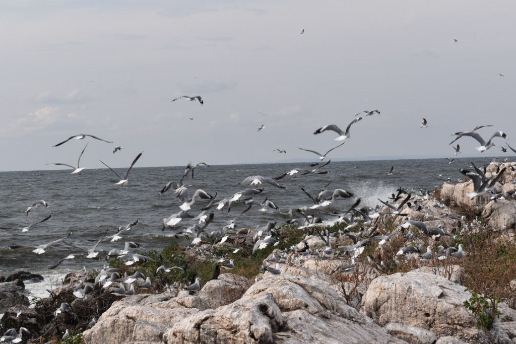Grey headed gulls flying