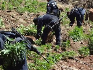 La PFP reportó la destrucción de un plantío de marihuana ubicado en la Sierra.