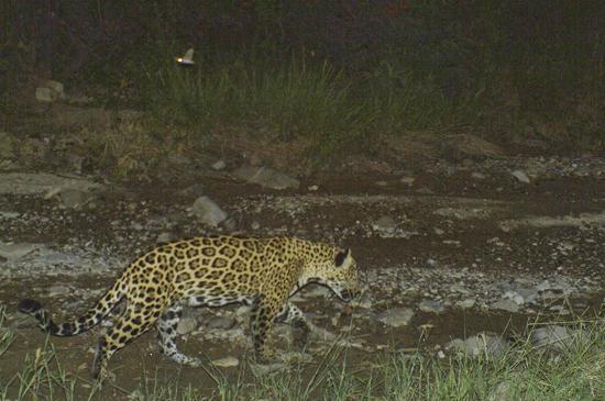 Un jaguar como el de la imagen fue asesinado en Granados, Sonora.