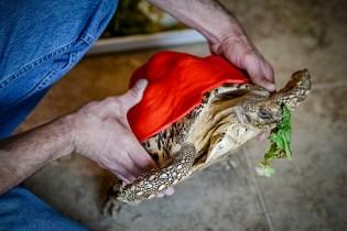 Фото дня: Черепаха Клеопатра в 3D панцире