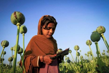 Фото дня: Сбор опия-сырца на маковом поле в Афганистане