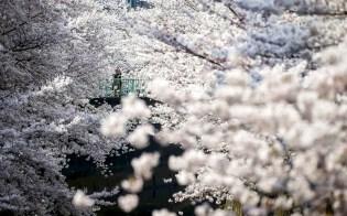 Фото дня: Япония любуется сакурой