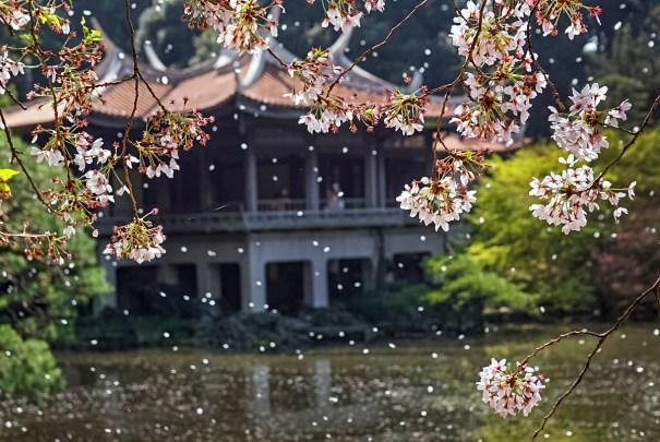 Фото дня: Лепестки сакуры
