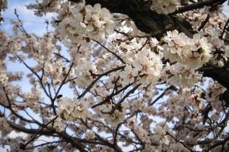 Фото дня: Цветущий абрикос