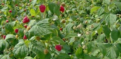 300 locuri de muncă in domeniul agricol (recoltare zmeura) in Portugalia prin intermediul EURES