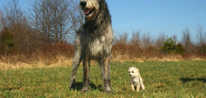 Irský vlkodav je psí osobnost