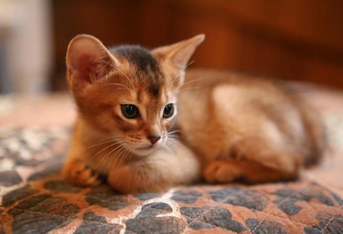 Kotě habešské kočky