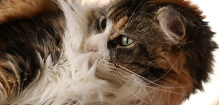 Kočičí srst
