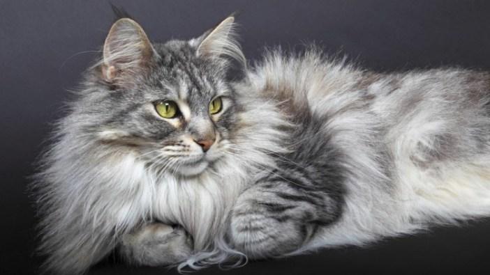 Mainská mývalí kočka potřebuje o svou srst pečovat