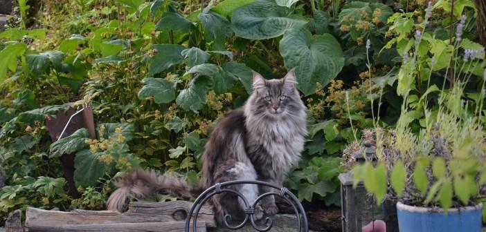 Norská lesní kočka