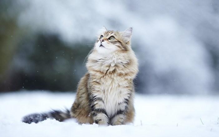 Sibiřským kočkám nevadí chlad