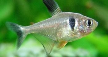 Fantom černý – stříbrně zářící rybička mírumilovné povahy