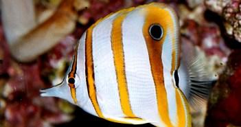 Zobec obecný – krásná všežravá ryba, s níž se potrápíte