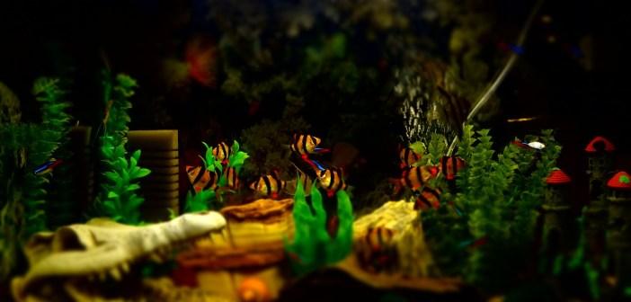 Parmička čtyřpruhá – naše středněvěká akvarijní radost