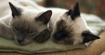 jaké kočičí nemoci se na člověka nepřenáší