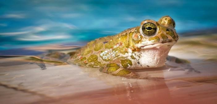 Chováte žábu