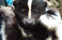 Zvláštní mazlíček jménem skunk