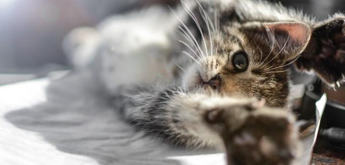 nejpopulárnější plemena koček