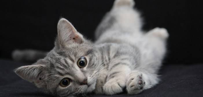 Bojujeme proti blechám. Jak kočky chránit před touto nepříjemností?
