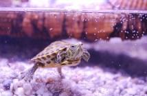 Jaké druhy želv nejčastěji chováme?