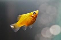 Pijavka jako závažná nemoc, s níž se potýkají akvarijní rybky