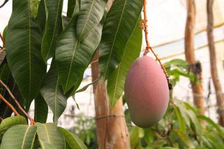 Mango1