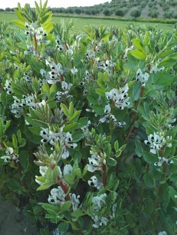 floracion habas