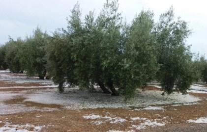 olivar granizo.jpg