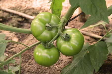 Tomate IMG_2088