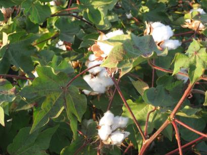 algodón IMG_9894