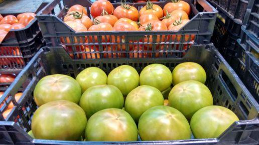tomates IMG-20180115-WA0012