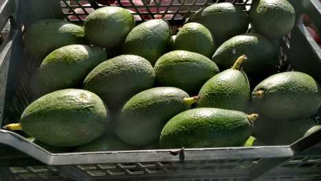 Aguacate 2019-10-25