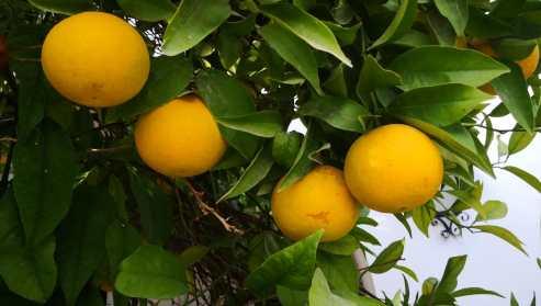 Naranjas 2019-11-04 (2)