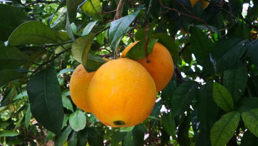 Naranjas 2019-11-04 (4)