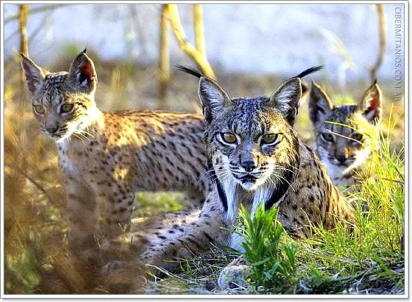 Imgenes De Animales En Via De Extincin Y Especies