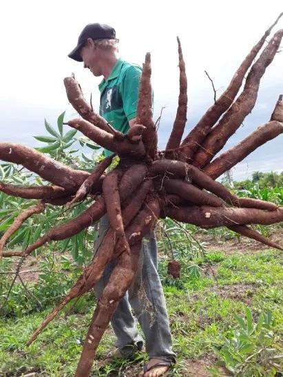 Mandioca-gigante Una familia de Misiones cosechó una mandioca que pesó 20 kilos