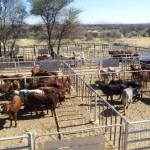 Animal imports banned after foot and mouth disease outbreak in South Africa