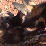 NAC meat thieves kill rare African wild dog pack