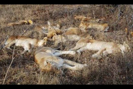 Four lions poisoned in Sesfontein