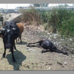 'Cattle are dying en mass,' says Gov Kankoshi