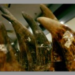 One more rhino horn thief arrested