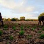 Not enough rain for Omusati Region