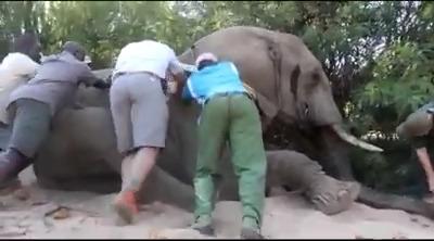Christmas elephant collared