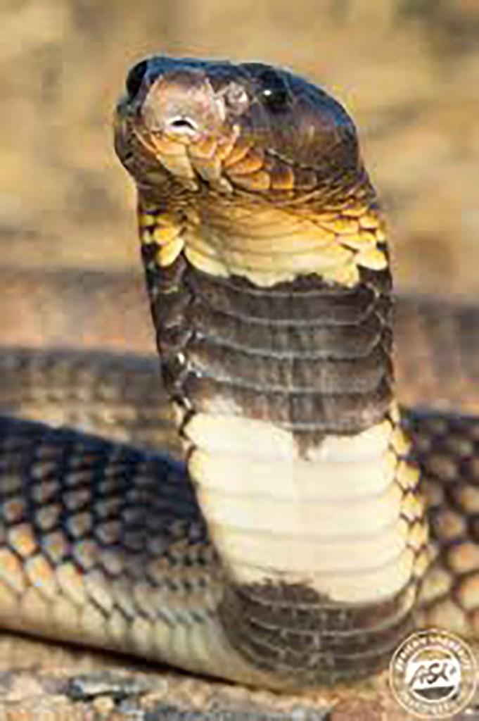 Angolan snake Omusati died Katupo