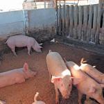 Omusati farmers cautioned against African swine flu