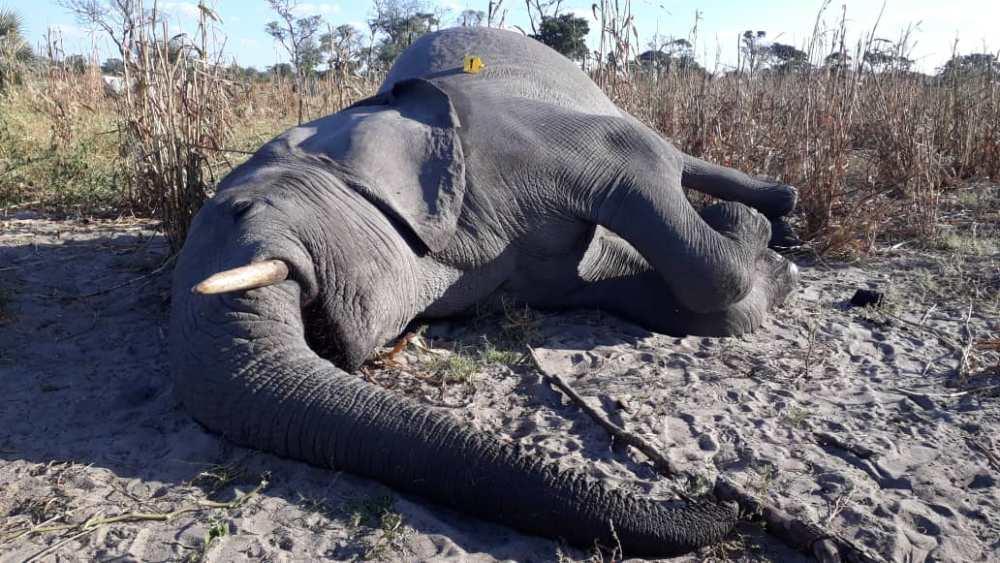 Dead elephant discovery bullet wound head mahangu field farm south east Rundu